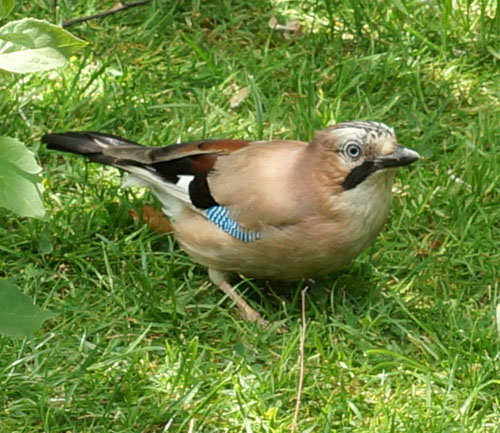 Jay adjacent to Jersey Farm Woodland Park
