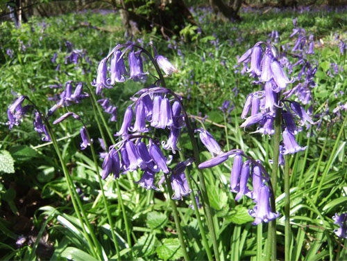 Bluebells in Pudlers Wood